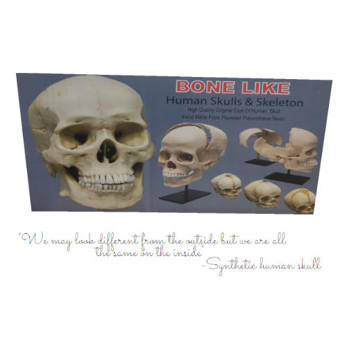 Human Bone Set for MBBS 1st year